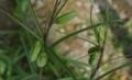 [花][ばいも]ばいもつぼみ