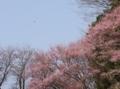 [花][桜]裏の林の桜