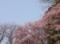 裏の林の桜