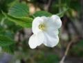 [花][やまぶき]白やまぶき