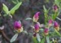[花][さつき]さつきつぼみ