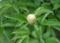 芍薬つぼみ