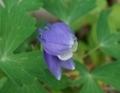 [花][おだまき]おだまき咲き始め