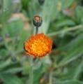 [花][たんぽぽ]コウリンたんぽぽ