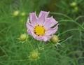 [花][こすもす]こすもす咲き始め