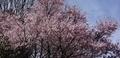 [花][桜]桜