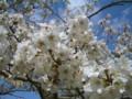 20130410公園の桜