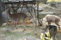 1703鹿とカモシカ