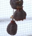鳥に食われた干柿