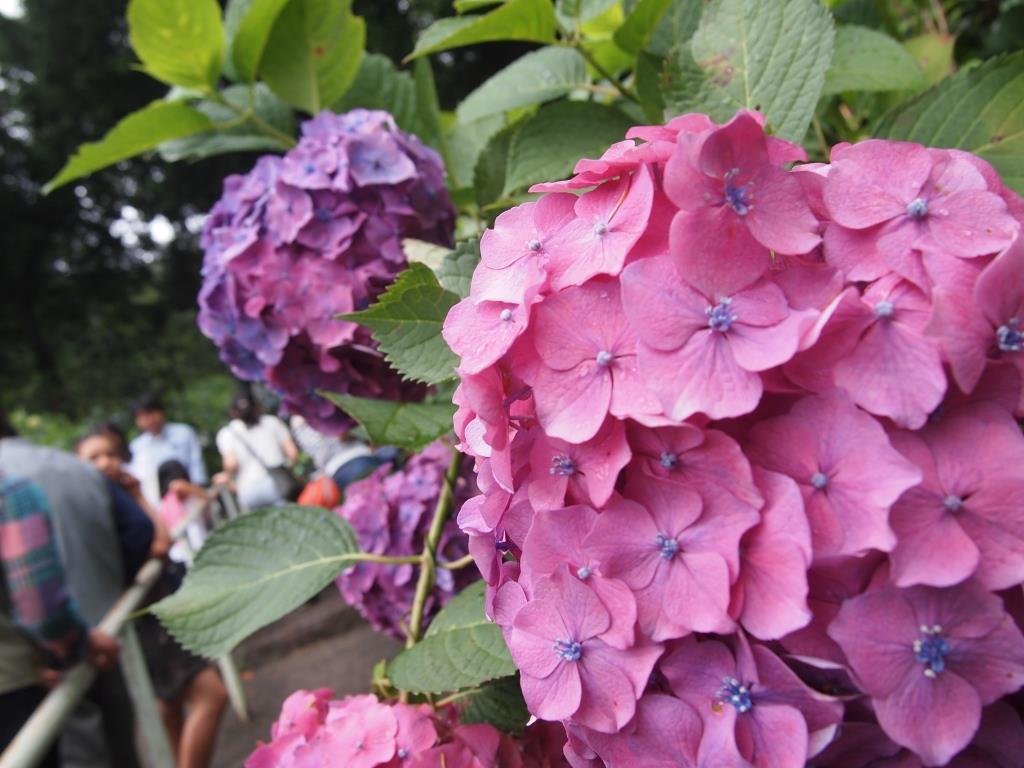 f:id:dreamjourney:吉備津神社の紫陽花。特にピンクがきれいでした!