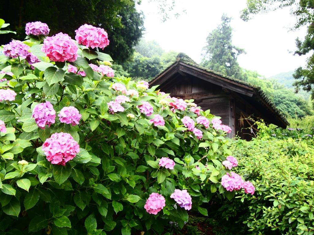 f:id:dreamjourney:吉備津神社の紫陽花。ピンクがやはりきれい!