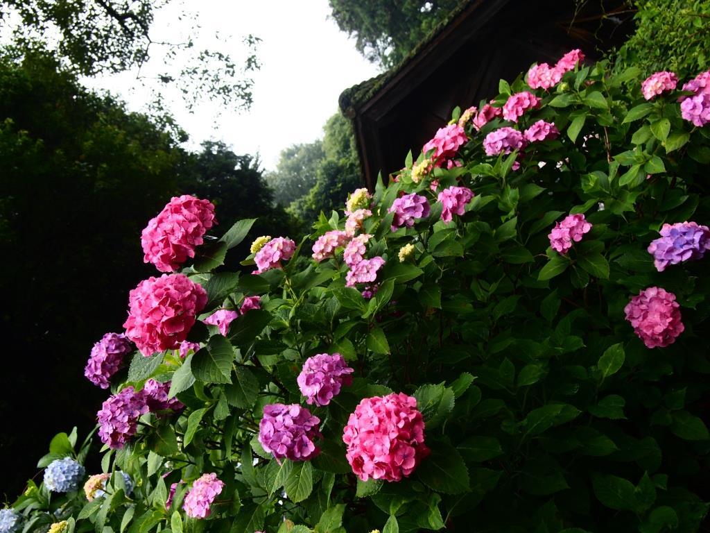f:id:dreamjourney:吉備津神社の紫陽花。ピンク、薄紫、紫、青のグラデーションがきれいです。
