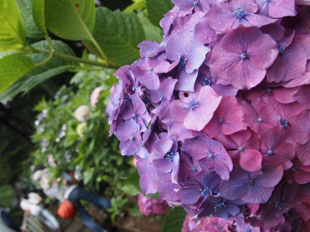 f:id:dreamjourney:吉備津神社の紫陽花。紫もきれい。
