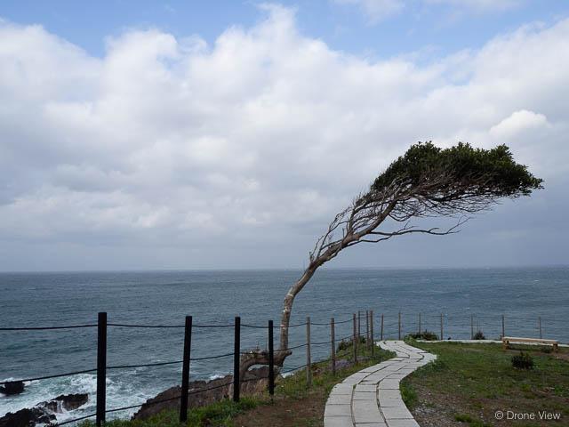 珠洲岬の木