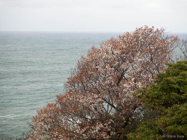 珠洲岬の花