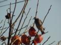 カキの木に来たムクドリ