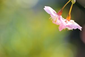 庭のカワヅザクラ(2013.02.23)