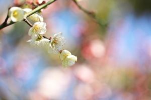 庭のウメ(2013.02.23)
