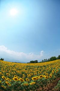 北杜市明野サンフラワーフェス2013(2013.08.15)
