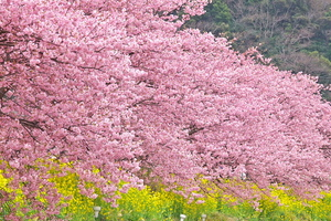 Canon EOS 5D MarkII & EF70-200mm F4L IS USM みなみの桜(2011.02.27)