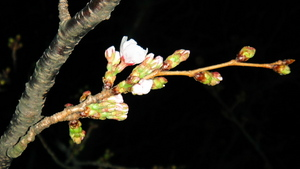 SONY DSC-TX5 某駐車場の桜(2011.03.28)
