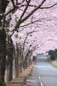 Canon EOS 5D MarkII & EF70-200mm F4L IS USM 愛鷹広域公園周辺道路(2011.04.10)