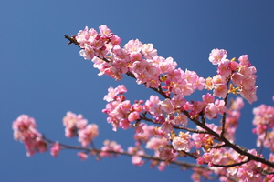 Canon EOS 20D & Canon EF17-40mm F4L USM みなみの桜(2008.02.24)