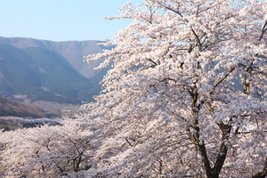 Canon EOS 5D MarkII & Canon EF24-70mm F2.8L USM 富士霊園(2009.04.11)