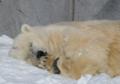 昨年とった旭山動物園の白くま