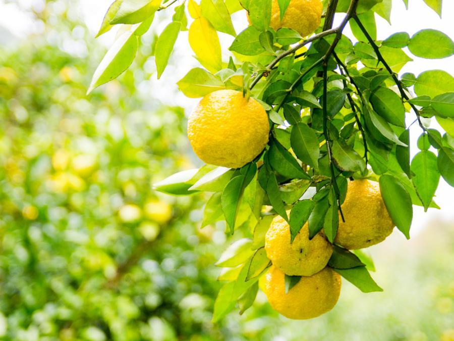 健康にいい!柚子(ゆず)に含まれる栄養と健康効果7選について - 健康にいい!