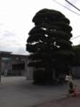 中原中也記念館の巨木