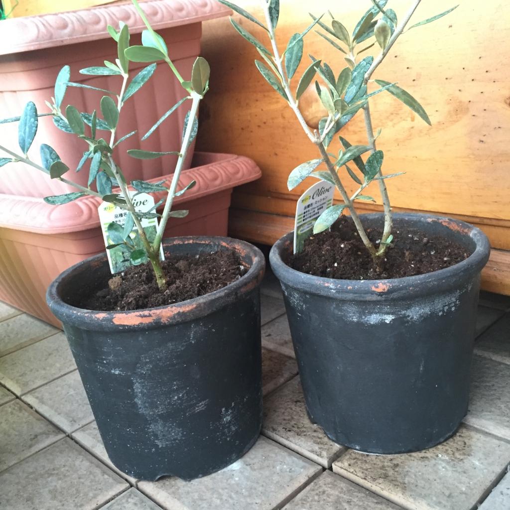 オリーブの鉢植え後