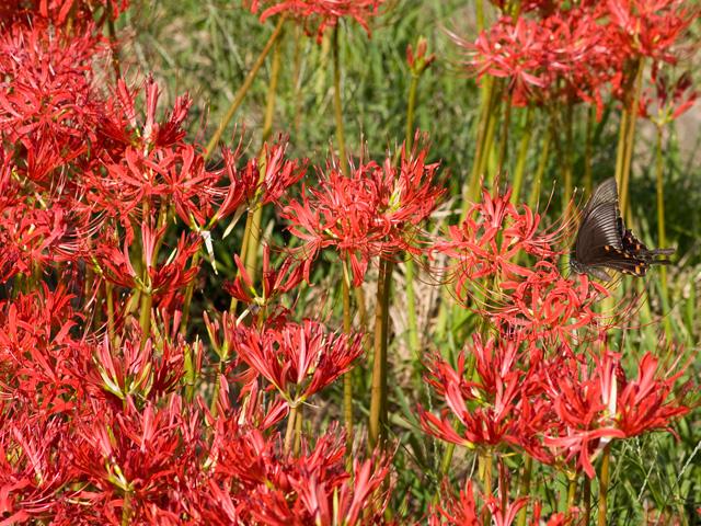 彼岸花とクロアゲハ蝶