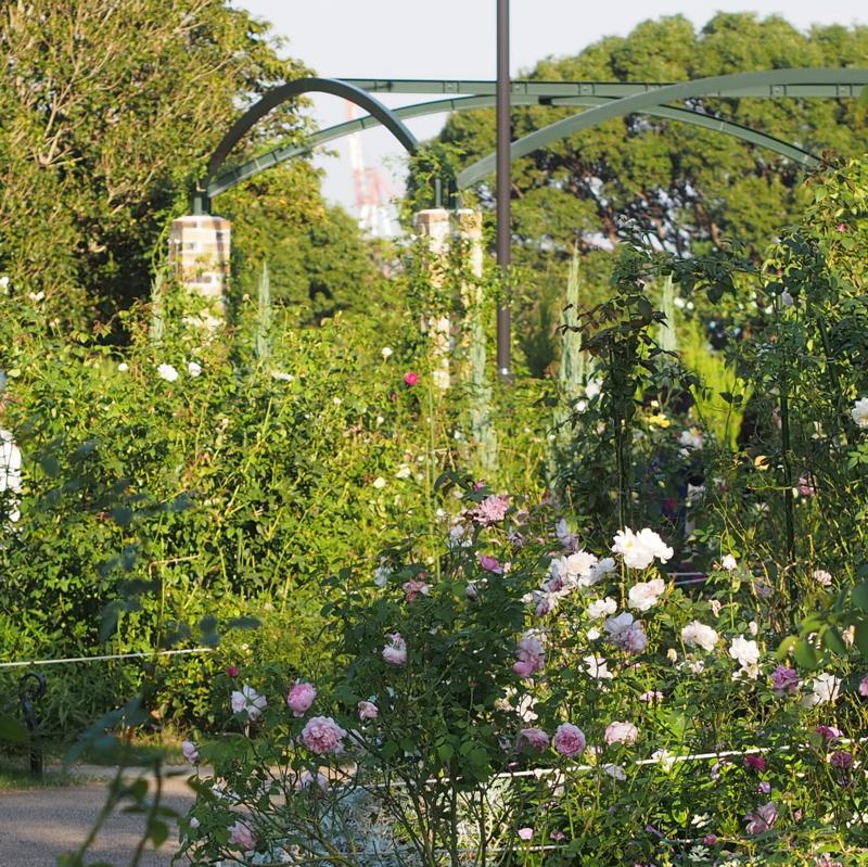 イングリッシュローズガーデンで満開のバラ|港の見える丘公園の秋の花々