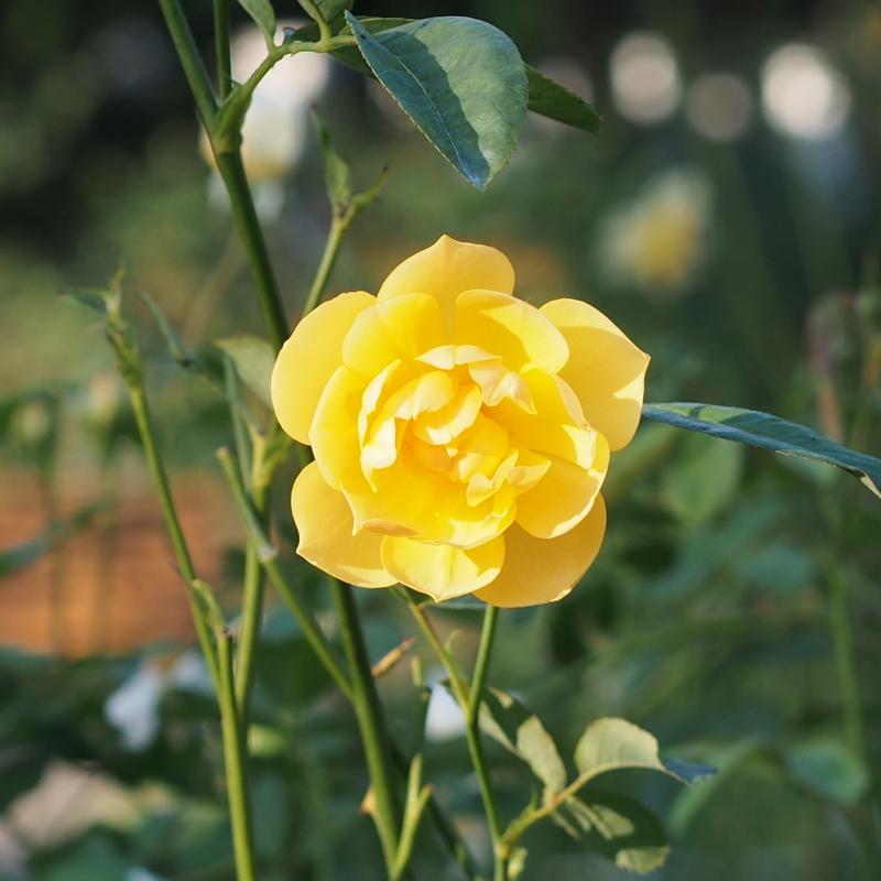 黄色いバラ|港の見える丘公園の秋の花々
