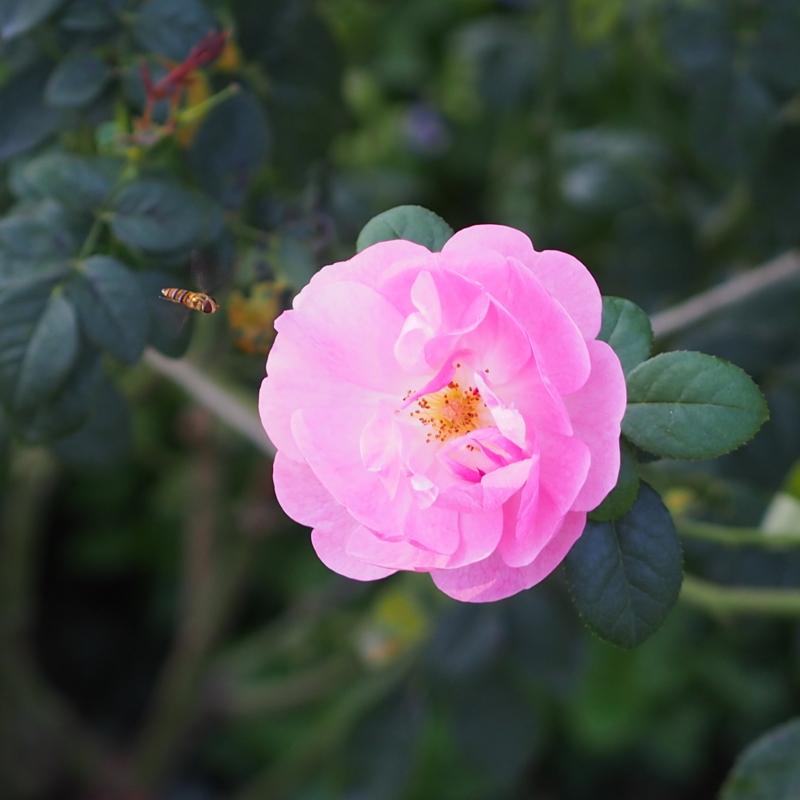 可憐なピンクのバラ|港の見える丘公園の秋の花々