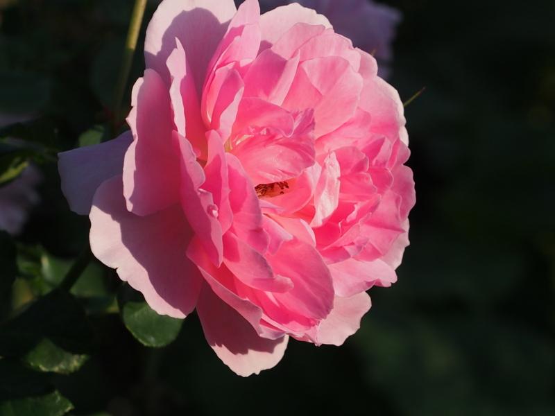 ピンクの華麗なバラ|港の見える丘公園の秋の花々