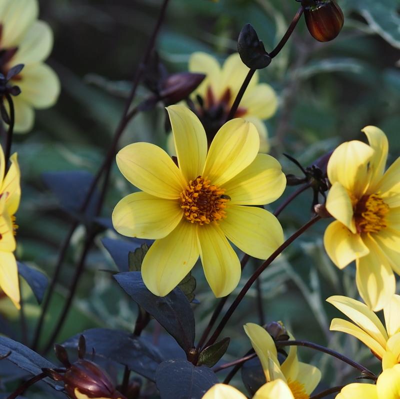 黄色い花|港の見える丘公園の秋の花々