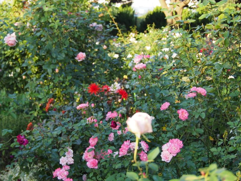 バラ満開|港の見える丘公園の秋の花々