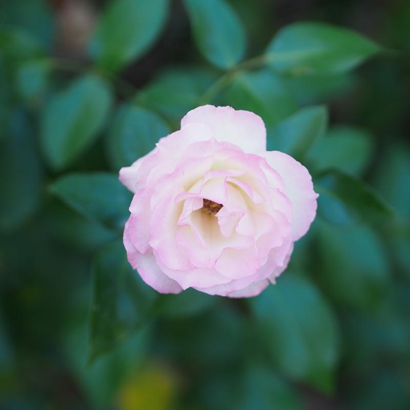 横浜イングリッシュガーデンのバラ