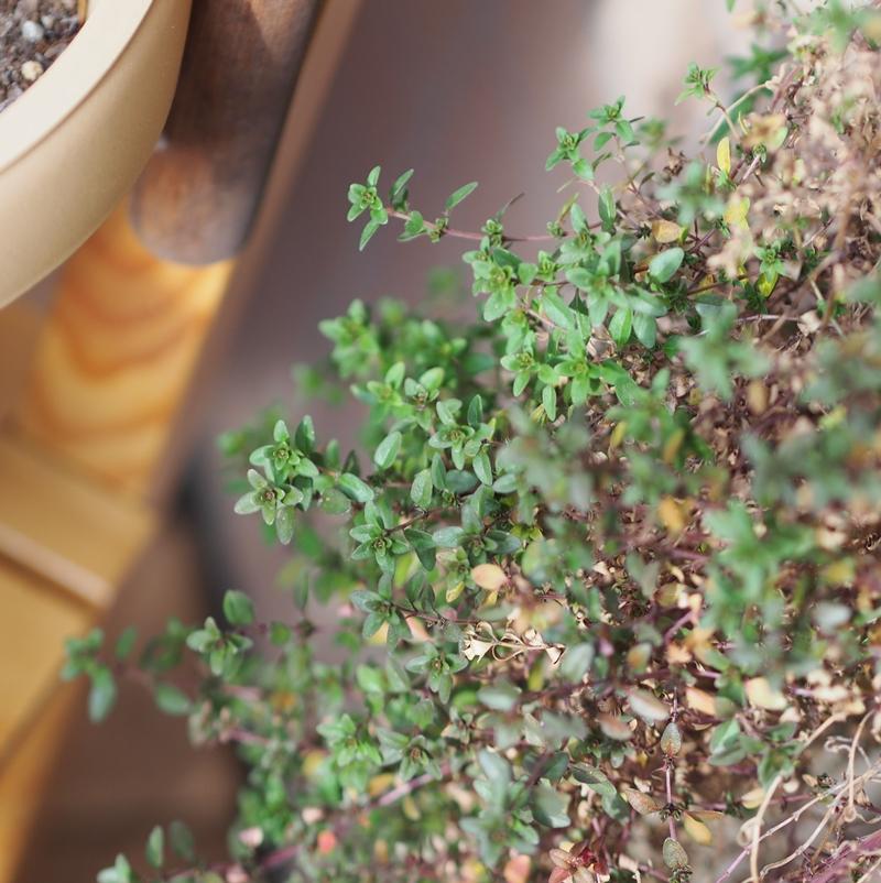 タイムの葉