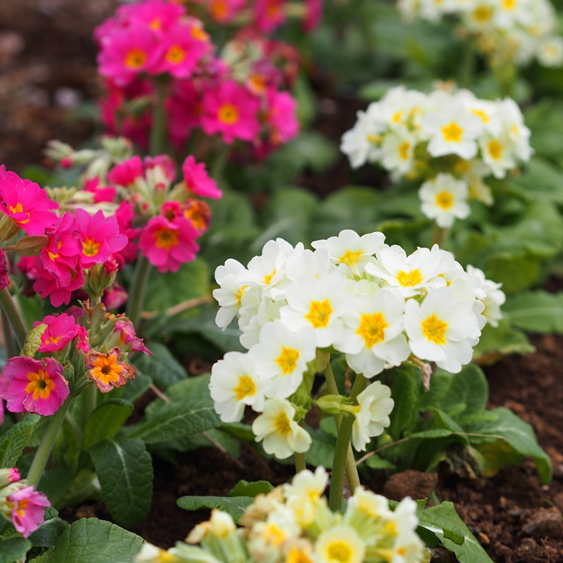 沈床花壇のプリムラ