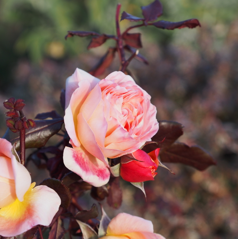 冬に咲くバラ@丘公園