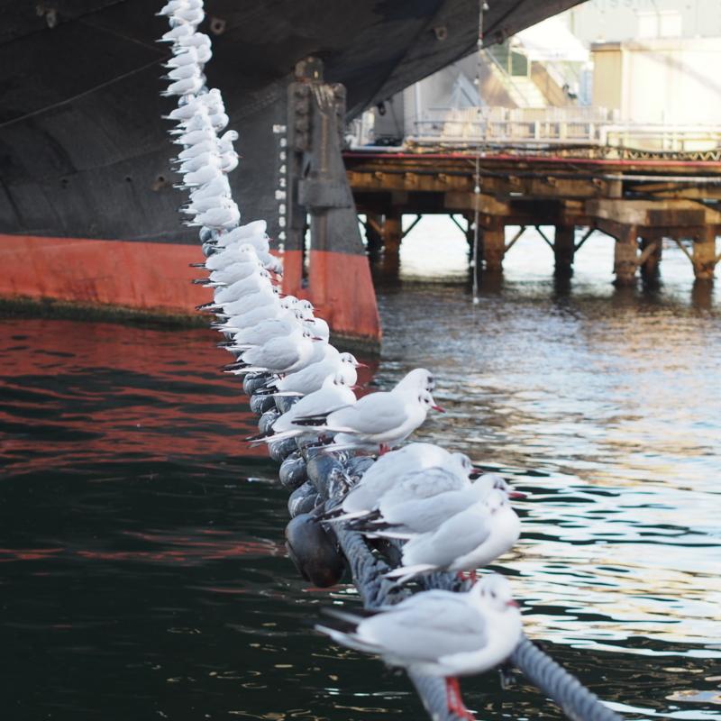 氷川丸が繋がれた鎖の上に並ぶカモメ