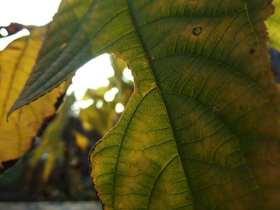 葉のどアップ