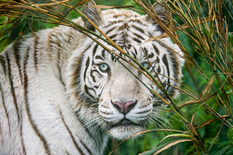 White tiger and vegetation