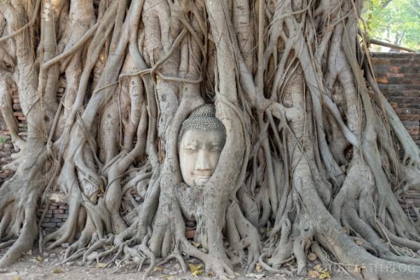 木の根で覆われた仏頭