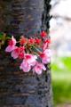 京都新聞写真コンテスト 春の息吹