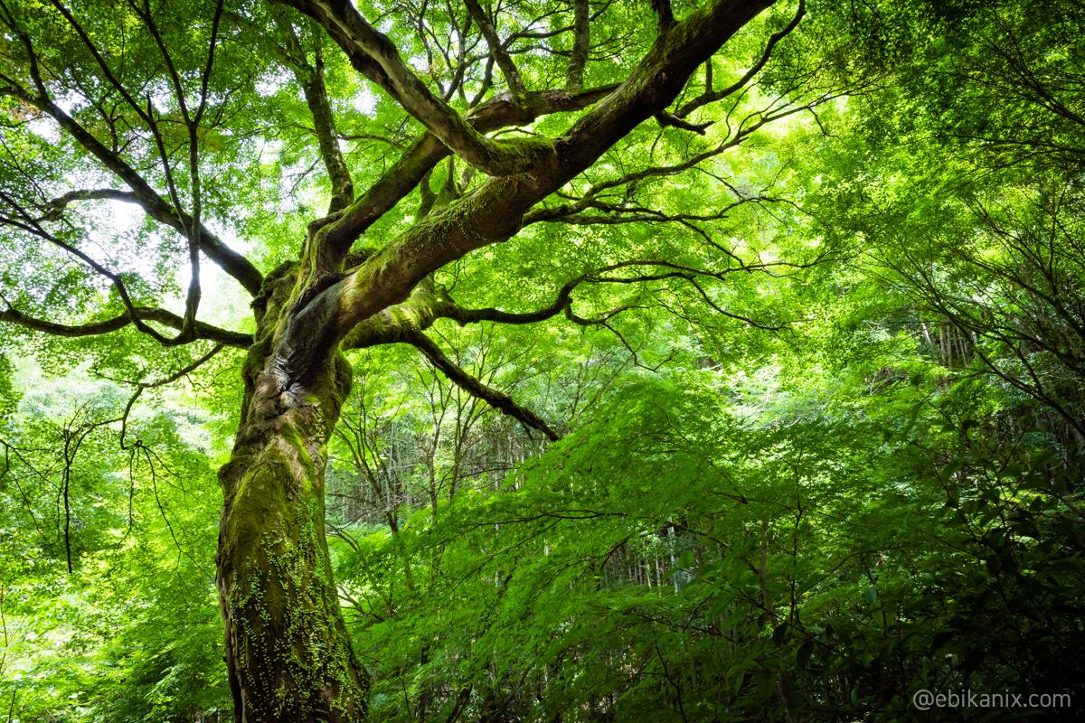 曲線がきれいな木