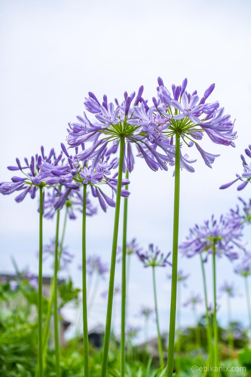 まっすぐ生える花